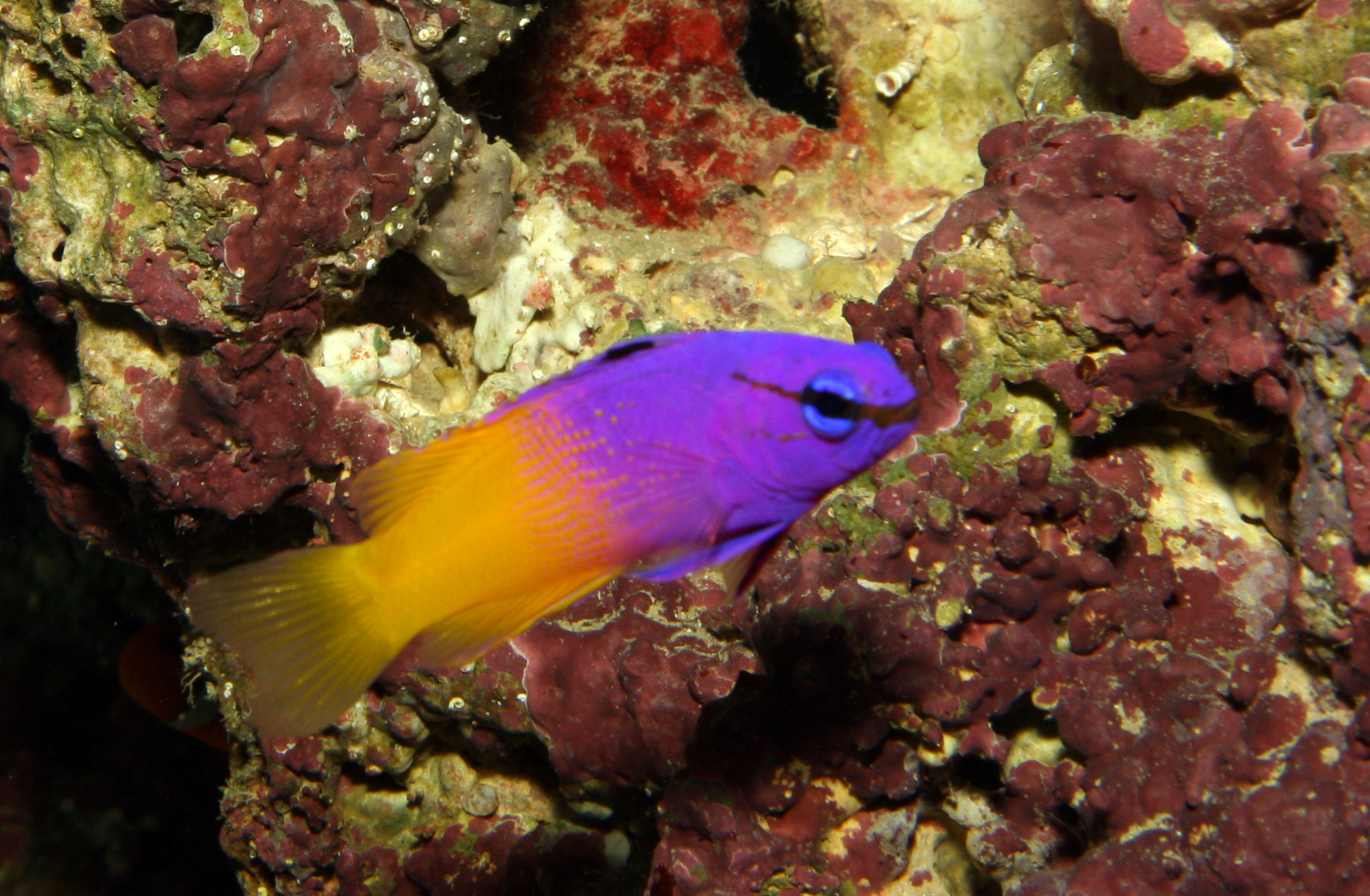 Pseudochromis paccagnellae (royal dottyback), Aquarium 1.jpg - Pseudochromis paccagnellae (royal dottyback)