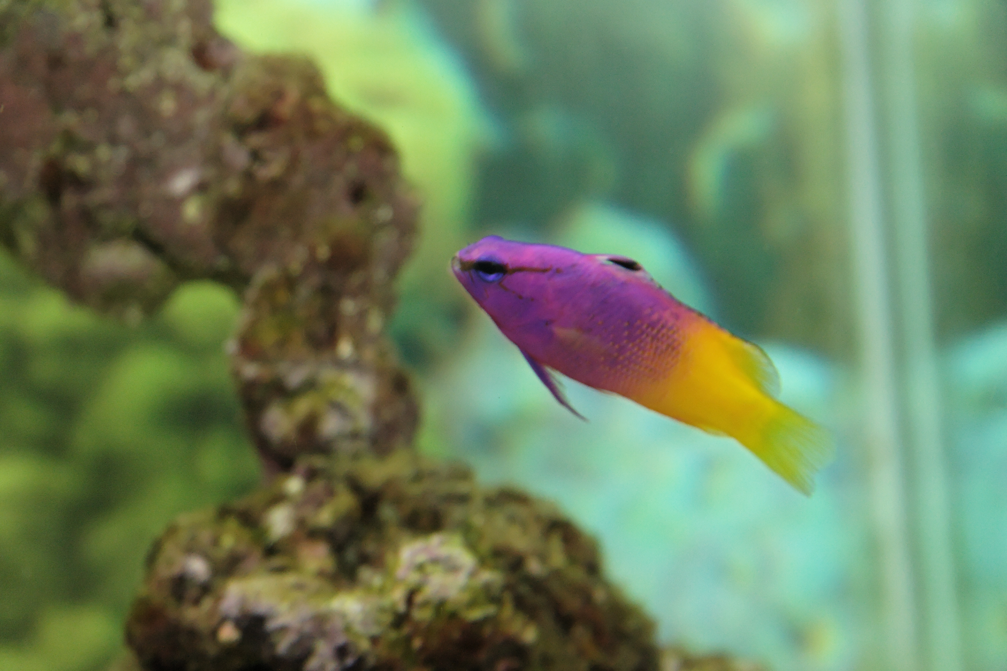 Pseudochromis paccagnellae (royal dottyback), Aquarium.jpg - Pseudochromis paccagnellae (royal dottyback)